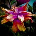 """""""Hibiscus 2"""" by davidbricher"""