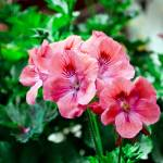 """Pink Geraniums"" by davidbricher"