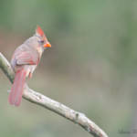 """Northern Cardinal"" by WildAboutNaturePhotography"