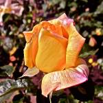 """""Yellow Rose With Pink Tendencies"""" by AlexandraZloto"