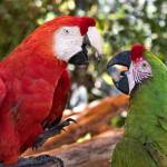 """Macaw Chat"" by mjphoto-graphics"