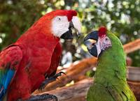 Macaw Chat