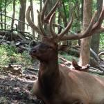 """Majestic elk"" by Anewsgal"