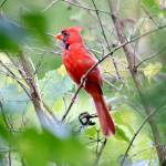 """""""Northern Cardinal"""" by WildAboutNaturePhotography"""