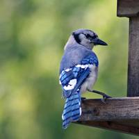 Blue Jay bird on birdfeeder