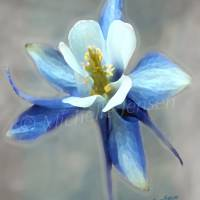 Blue Columbine Art Prints & Posters by michellejensen