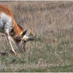 """Pronghorn"" by mick411"