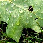 """""""Oak leaf in the rain"""" by privera"""