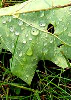 Oak leaf in the rain