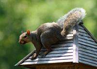 Squirrel on top of Bird Feeder
