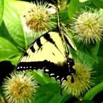 """""""Monarch"""" by privera"""