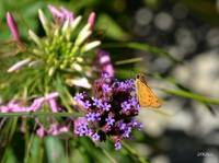 Skipper Moth on Purple Flowers