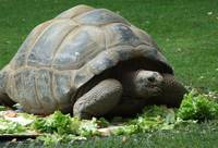 Giant tortoise/ turtle