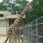 """""""Giraffes"""" by argaito"""
