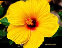 A Yellow Hibiscus from the garden