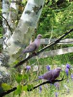Mourning Doves in Birch Tree