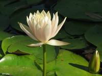 Peaceful White Lotus
