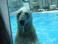 Wet Polar Bear
