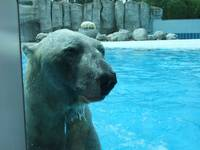 Wet Polar Bear2