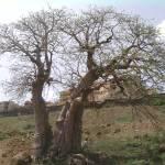 """""""Baobab"""" by HannahFaye"""