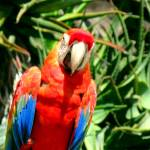 """Red Parrot"" by lwunlimited"