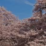 """""""Cherry Blossom Cascade"""" by Lairmistress"""