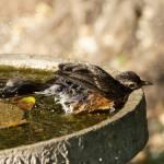 """""""Bird bath fun time"""" by cameragal"""