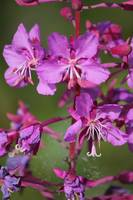 Fireweed closeup