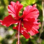 """""""Red Tropical flower"""" by ekewilson"""