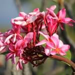 """Pink Tropical Tree blossom"" by ekewilson"