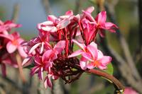 Pink Tropical Tree blossom