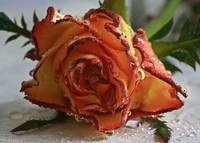 Flame Tip Rose