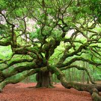 Angel Oak Art Prints & Posters by Ken Rainwater