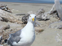 Seagull art Ocean Beach Coastal Driftwood prints