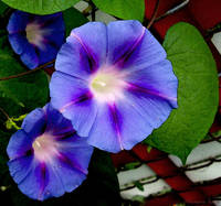 Violet Morning Glories