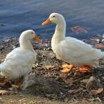 """Two White Ducks Sharing a Moment"" by theblueplanet"