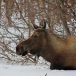 """""""Moose Resting"""" by ekewilson"""