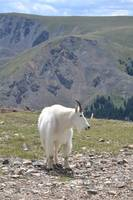 Mountain Goat, Keystone, Colorado