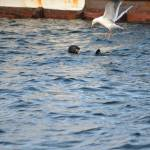 """SeaGull vs Sea Otter; all in the name of a meal"" by Nielswright"