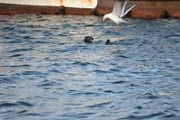 SeaGull vs Sea Otter; all in the name of a meal