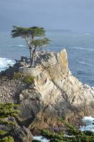 The infamous Naked Cypress 3, Monterey, CA