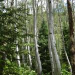 """Bent Aspen Trees, West Vail, Colorado"" by Nielswright"