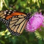 """""""The Monarch"""" by privera"""