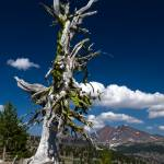 """Old Tree and Broken Top_2"" by aphimages"