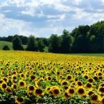 """Field of Sunshine"" by tracyjade"