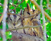Two Horny Owls Sleeping