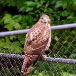 """""""Pondering Hawk"""" by SnapitNow"""