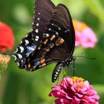"""Spicebush Swallowtail"" by Tanager"