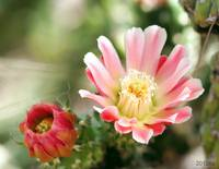 Two Cactus Flowers