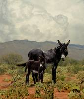 Wild Burros in the Desert